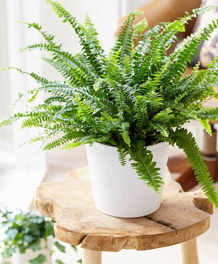 Go Green: The perfect 3 plants for your Bathroom.Plants.Bathroom.#AloeVera#InteiorDesign#Bamboo. Read more:http://www.maisonvalentina.net/en/inspiration-and-ideas/sem-categoria/green-perfect-plants-bathroom plants Go Green: The perfect 3 plants for your Bathroom NASAs Top 20 Boston Fern